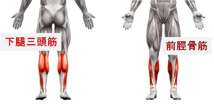 ふくらはぎと脛の筋肉の種類